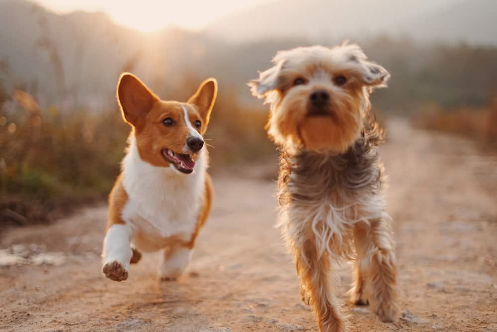 Van Insurance for Dog Walkers